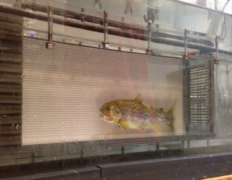 Atlantic salmon in a swim tank`